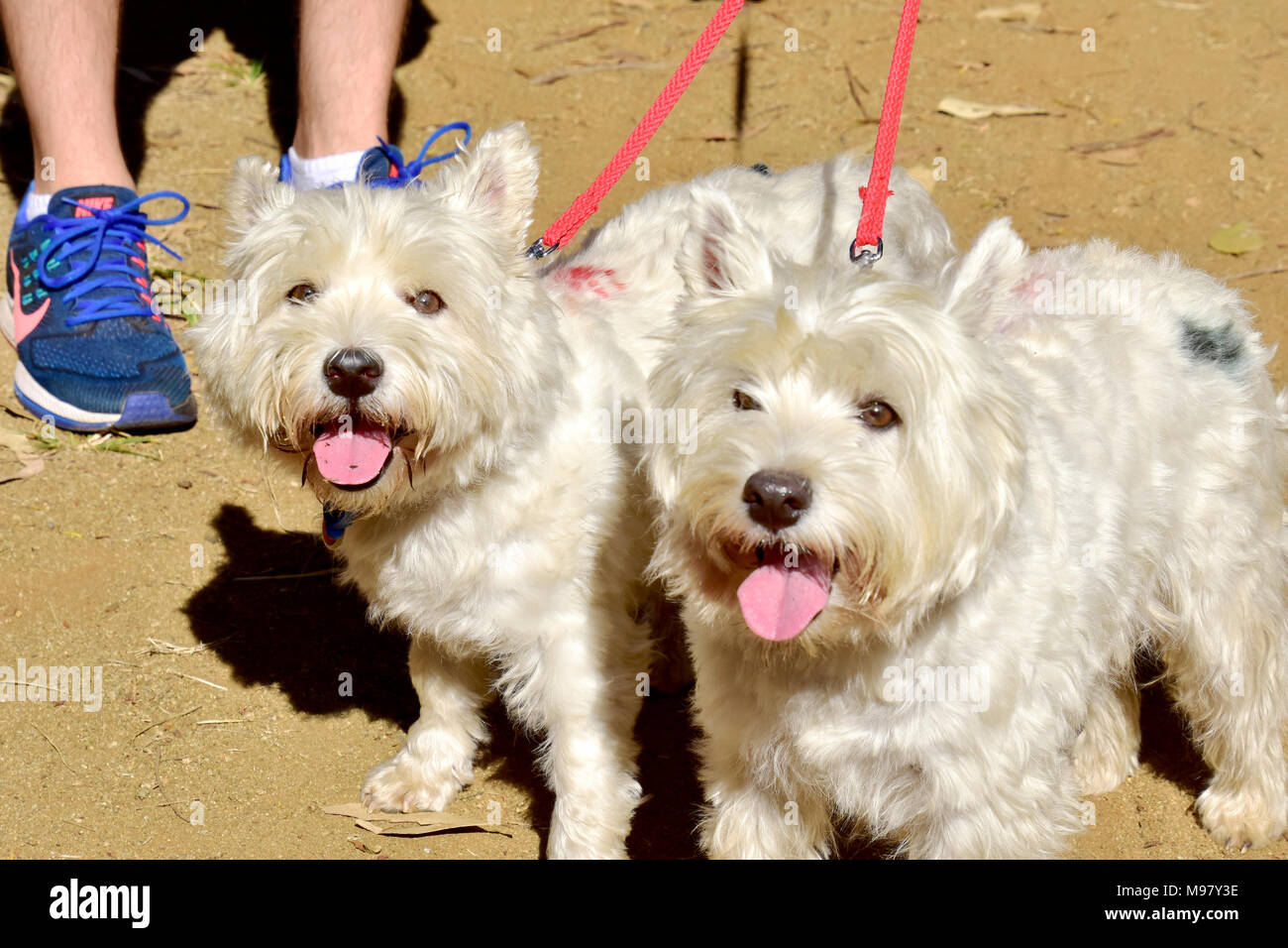 DOGS, 2 SCOTTISH TERRIERS - Stock Image
