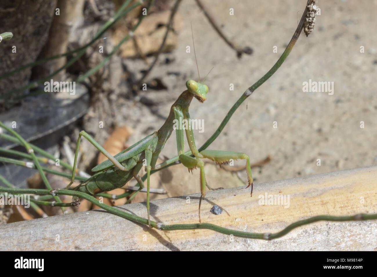Praying Mantis, European Mantis, Mantis Religiosa,  Mantis, Preying Mantis, Photo taken September 2017 in Almeria  Andalucia Spain - Stock Image