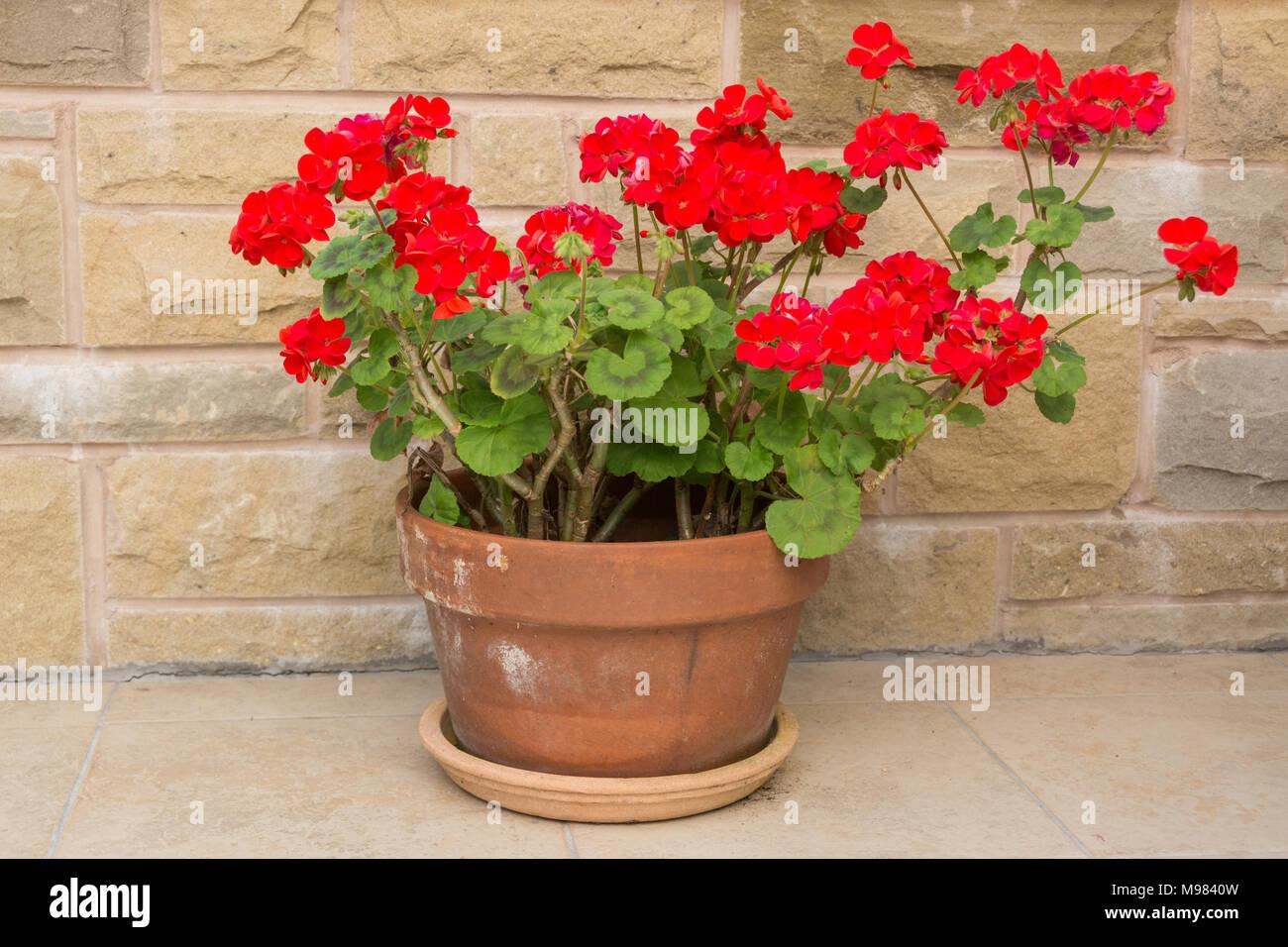 bright red geraniums pelargoniums in terracotta pot - Stock Image