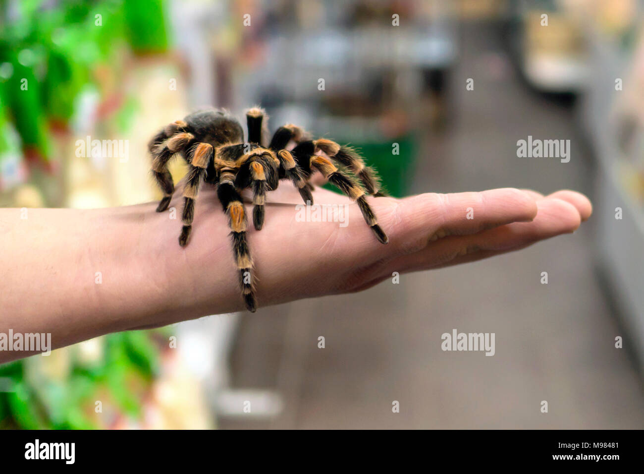 big spider tarantula sits crawling on the man's arm - Stock Image