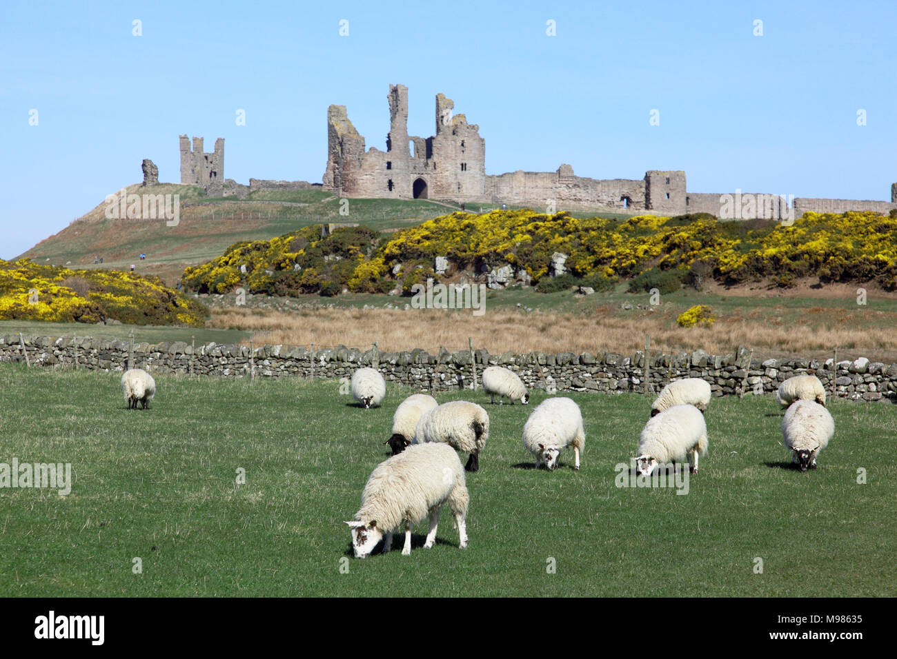Sheep grazing in front of the ruin of Dunstanburgh Castle, Northumberland, on the north east coast of England - Stock Image