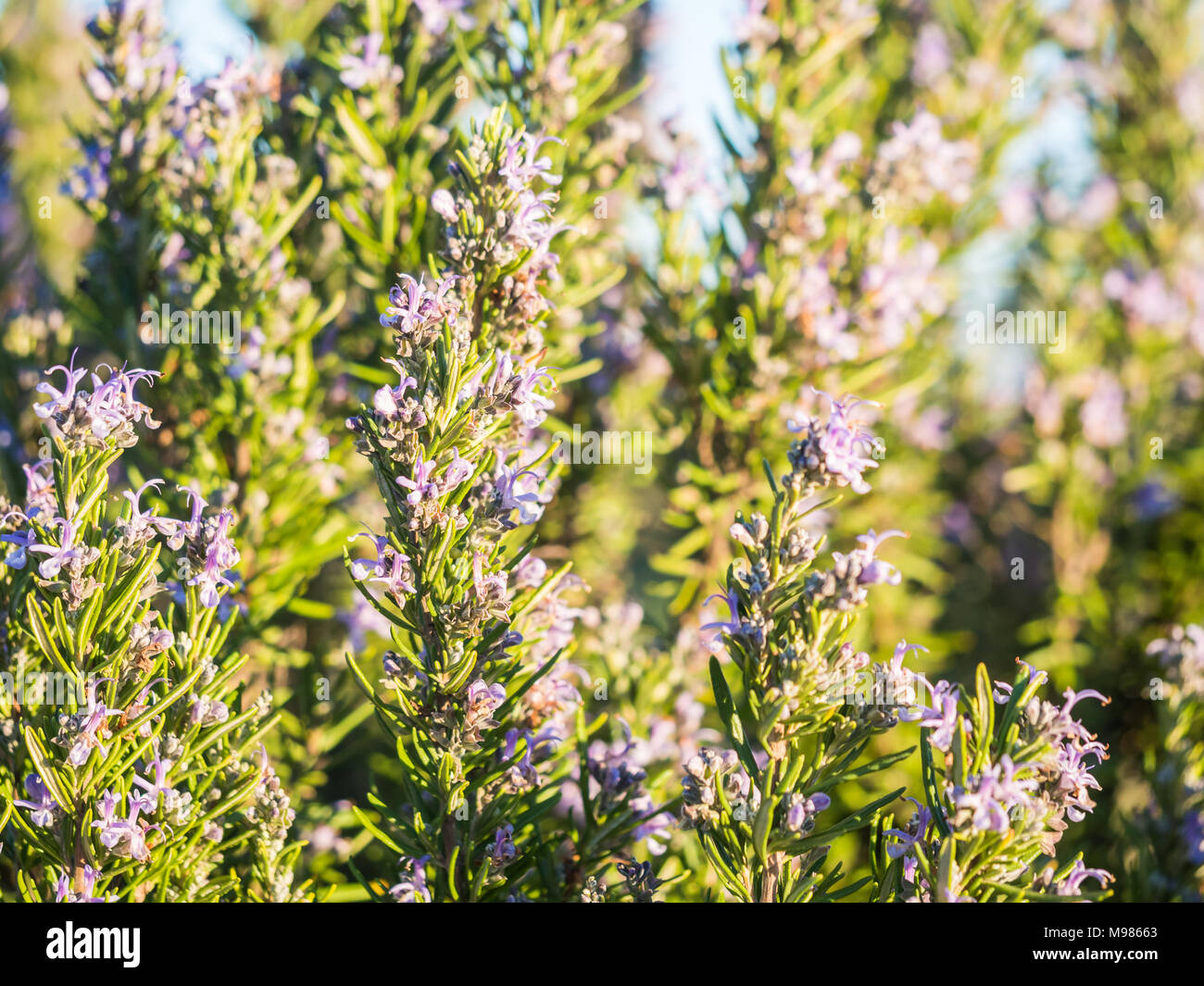 When the wild rosemary blooms: description, properties, features and reviews 94