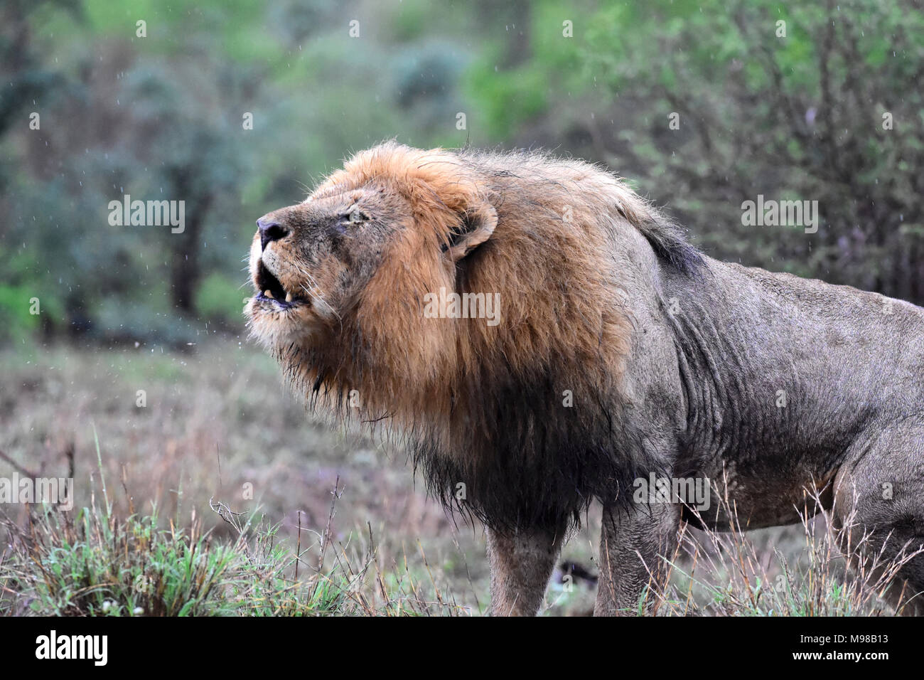 Angry wet male lion roaring in the rain. - Stock Image