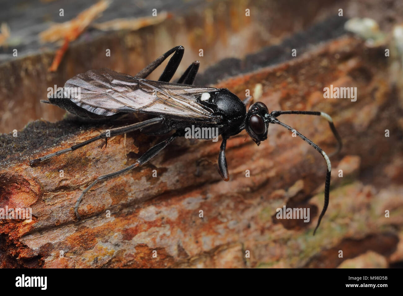 Ichneumonid Wasp resting on the bark of a fencepost. Tipperary, Ireland - Stock Image