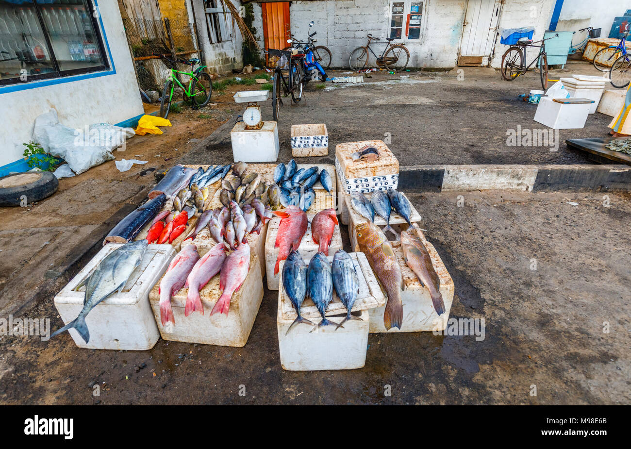 Large freshly caught fish displayed for sale at the quayside fish market in the harbour at Weligama on the south coast of Sri Lanka - Stock Image