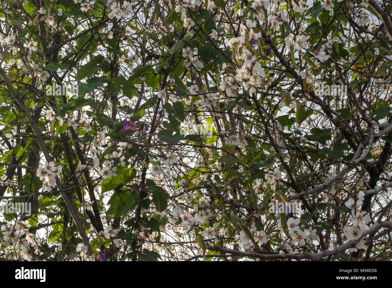 Purple bindweed wrapped around white blossom in a paphos garden with spring sunshine, in the kato paphos tourist area , cyprus, europe - Stock Image