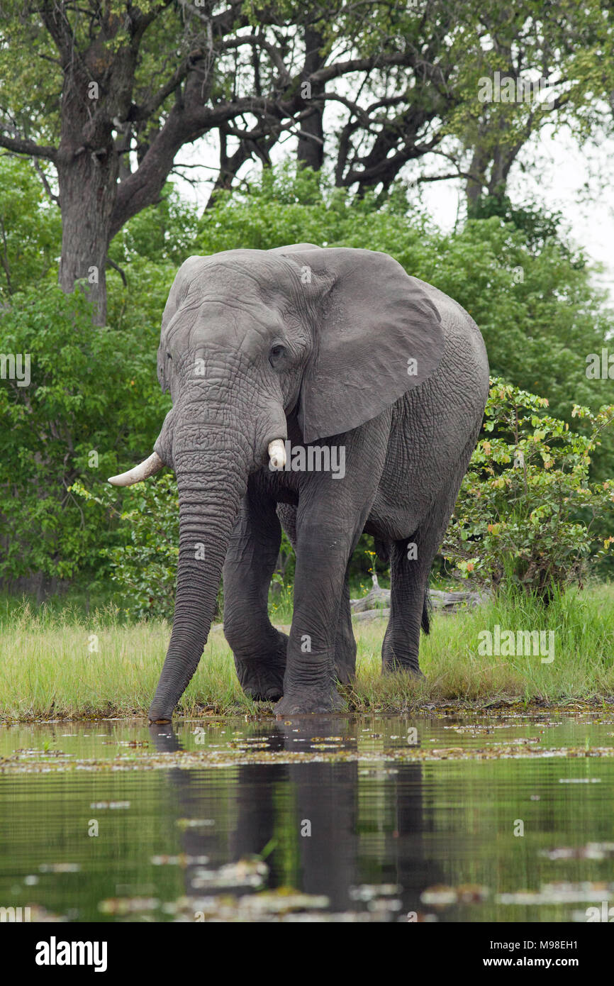 African Elephant (Loxodonta africana). Emerging from woodland, adult bull about to take a drink from river. Chobe National Park. Okavango Delta. Botsw Stock Photo