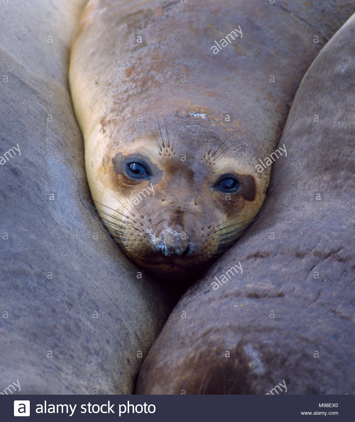 350606-1044  Copyright: George H.H. Huey  Young Northern elephant seal [Mirounga angustirostris].  San Miguel Island,  Channel Islands National Park - Stock Image