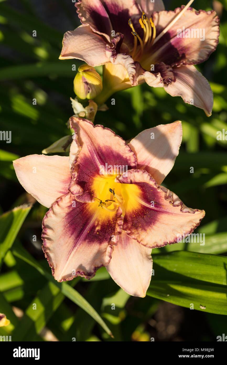 'Regal Braid' Daylily, Daglilja (Hemerocallis) - Stock Image