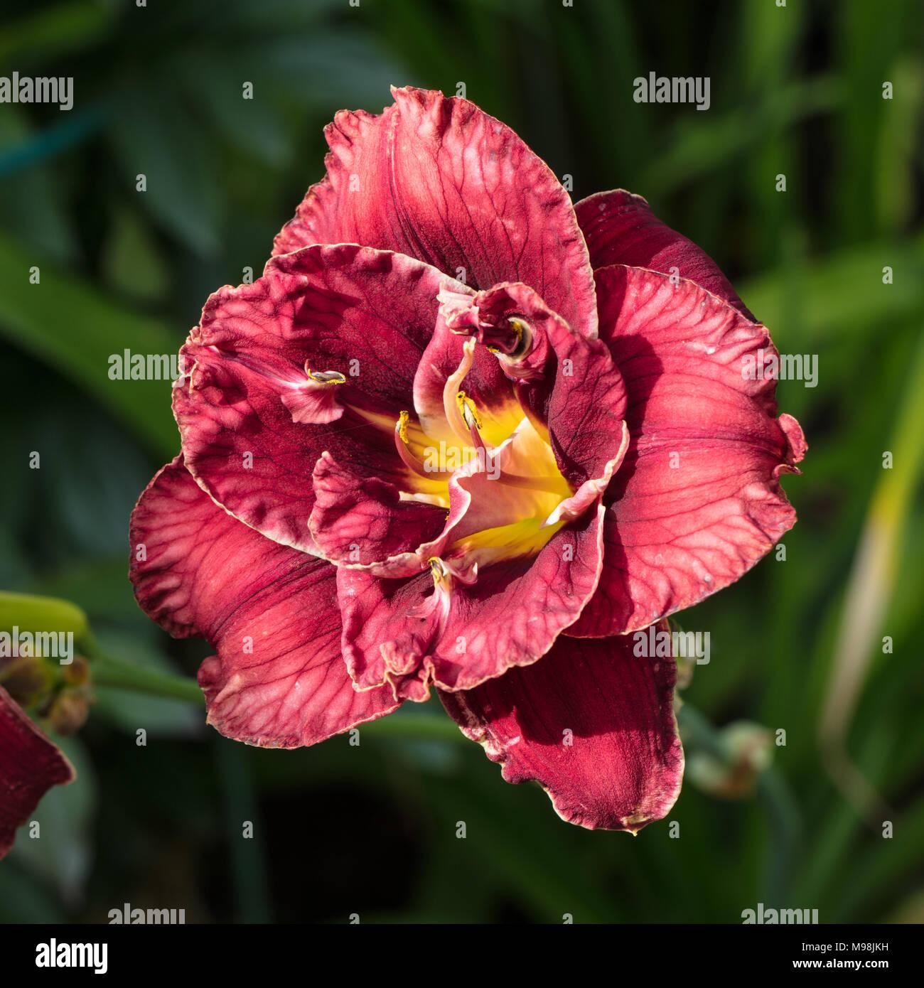 'Stellar Double Rose' Daylily, Daglilja (Hemerocallis) - Stock Image