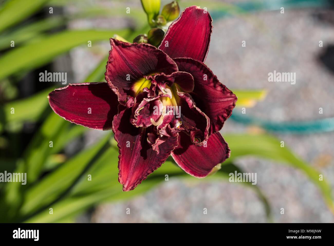 'Stellar Double Rose' Daylily, Daglilja (Hemerocallis) Stock Photo