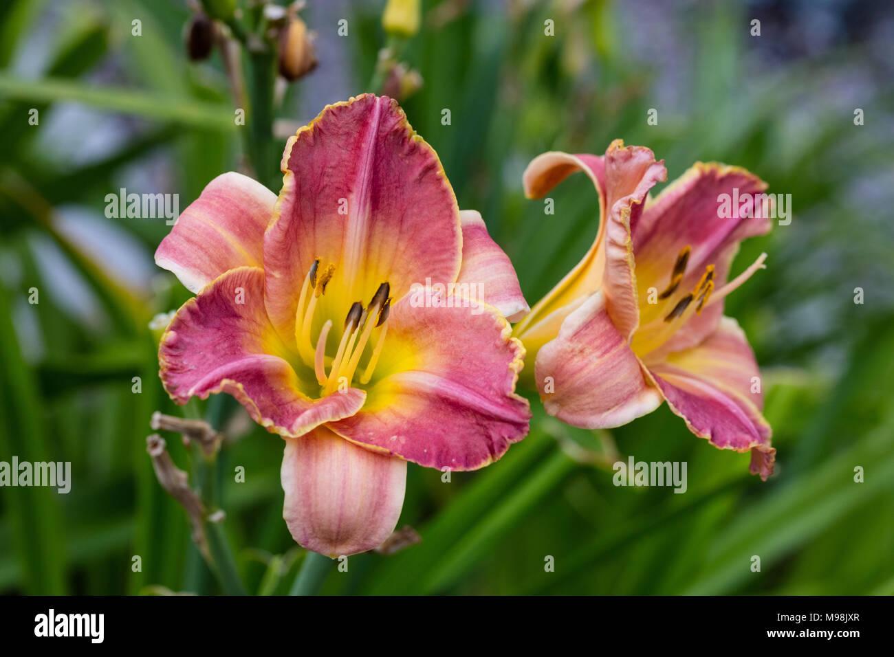'Truly Angelic' Daylily, Daglilja (Hemerocallis) - Stock Image