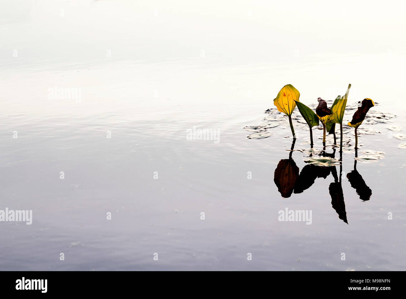 The leaves emerge from the water.Which, to the left side  space for a message.Used film filter. - Stock Image