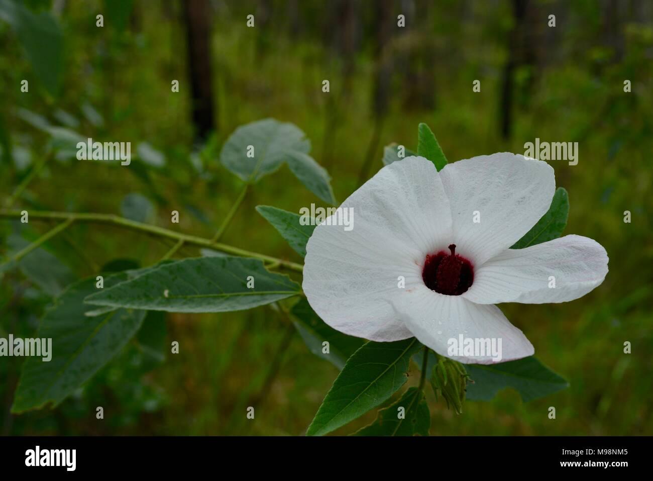 Bush like stock photos bush like stock images alamy white hibiscus like flowers growing in the australian bush big crystal creek qld 4816 mightylinksfo Image collections