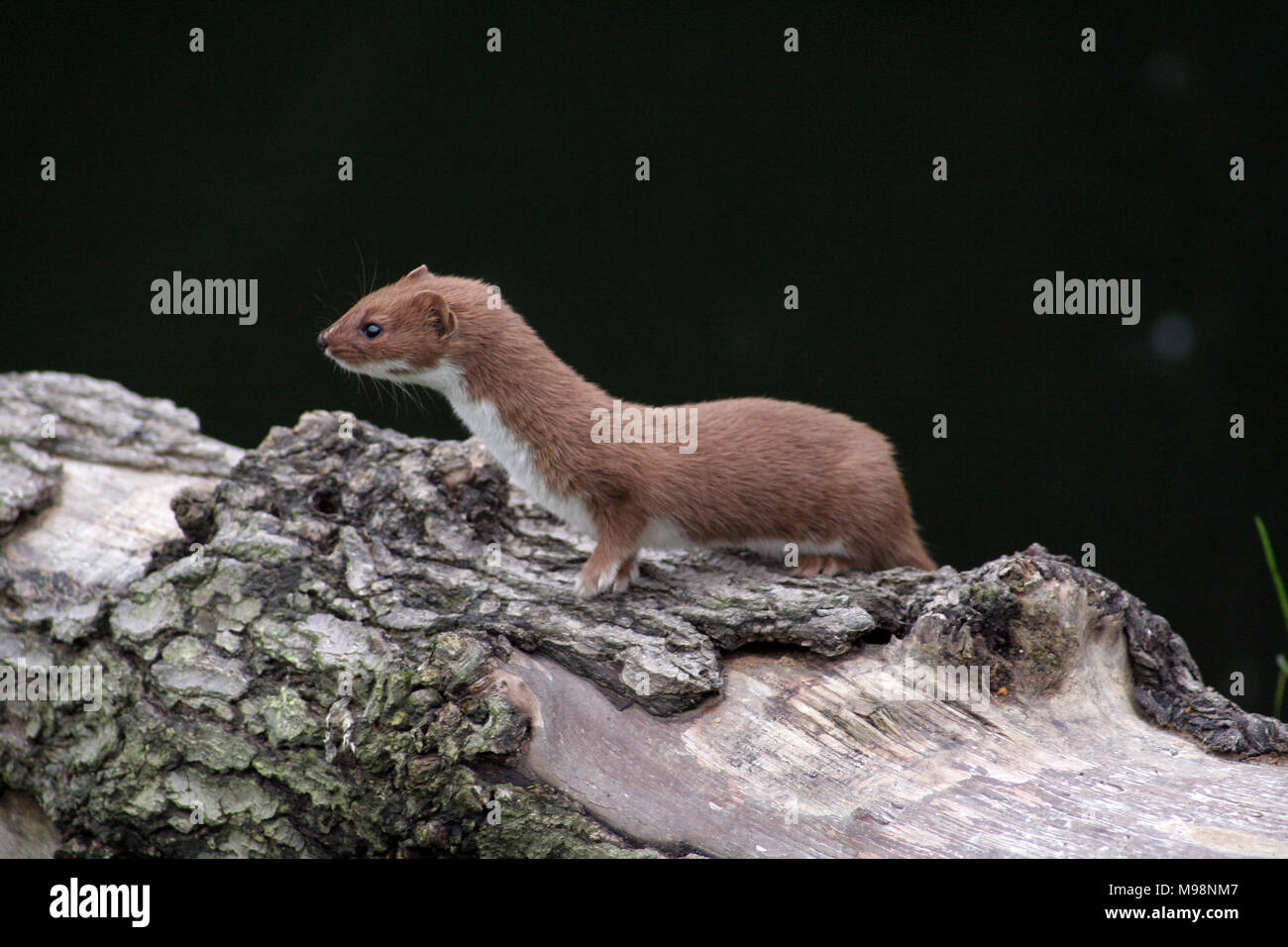 Weasels, Mustela nivalis, are related to stoats and are found across the UK, Europe& Asia. A ferocious hunter it is known folklore from England to Jap Stock Photo
