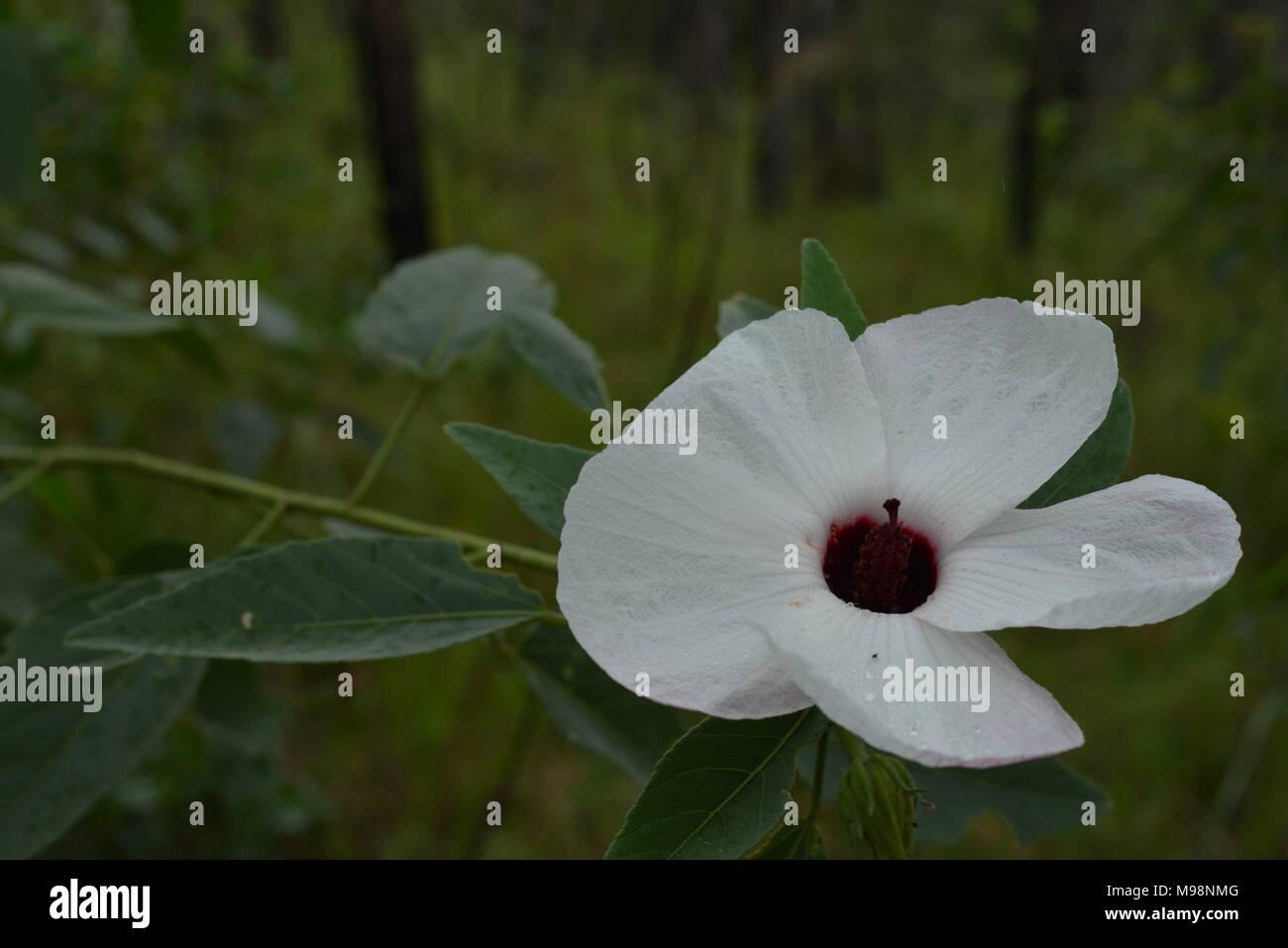 White Hibiscus Like Flowers Growing In The Australian Bush Big