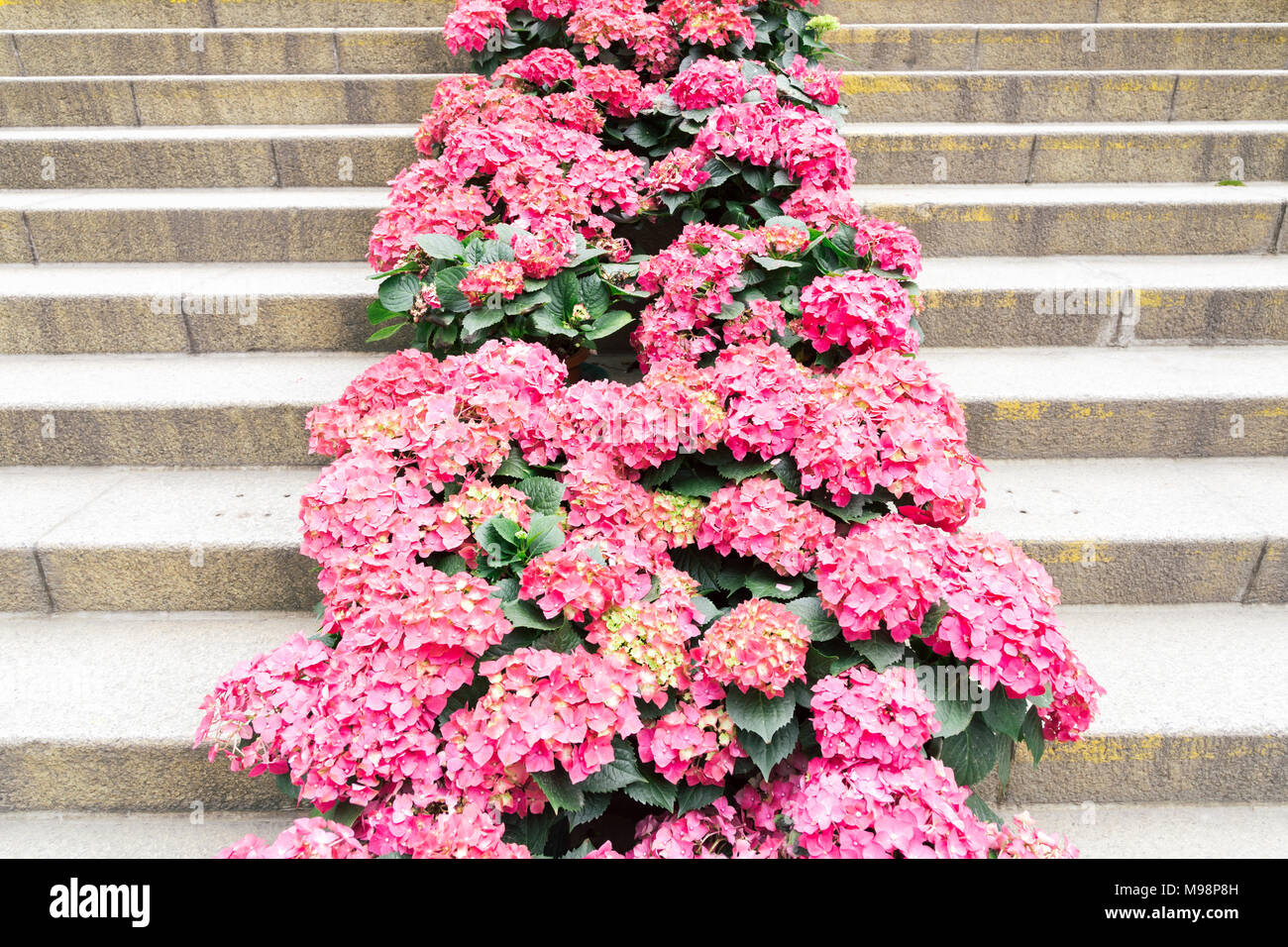 Pink hydrangea in Po Lin Monastery, Hong Kong - Stock Image