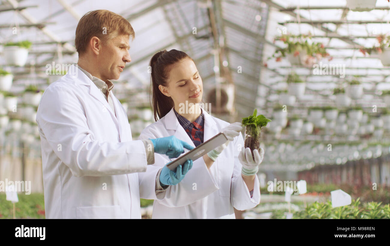 In the Industrial Greenhouse Two Agricultural Engineers Test Plants Health and Analyze Data with Tablet Computer. Stock Photo