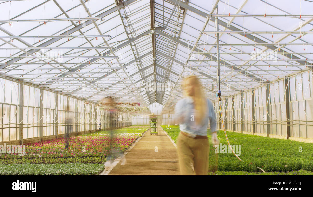 Shot of Busy Industrial Greenhouse Where Gardener's silhouettes Work on Growing Beautiful and Delicious Plants. - Stock Image