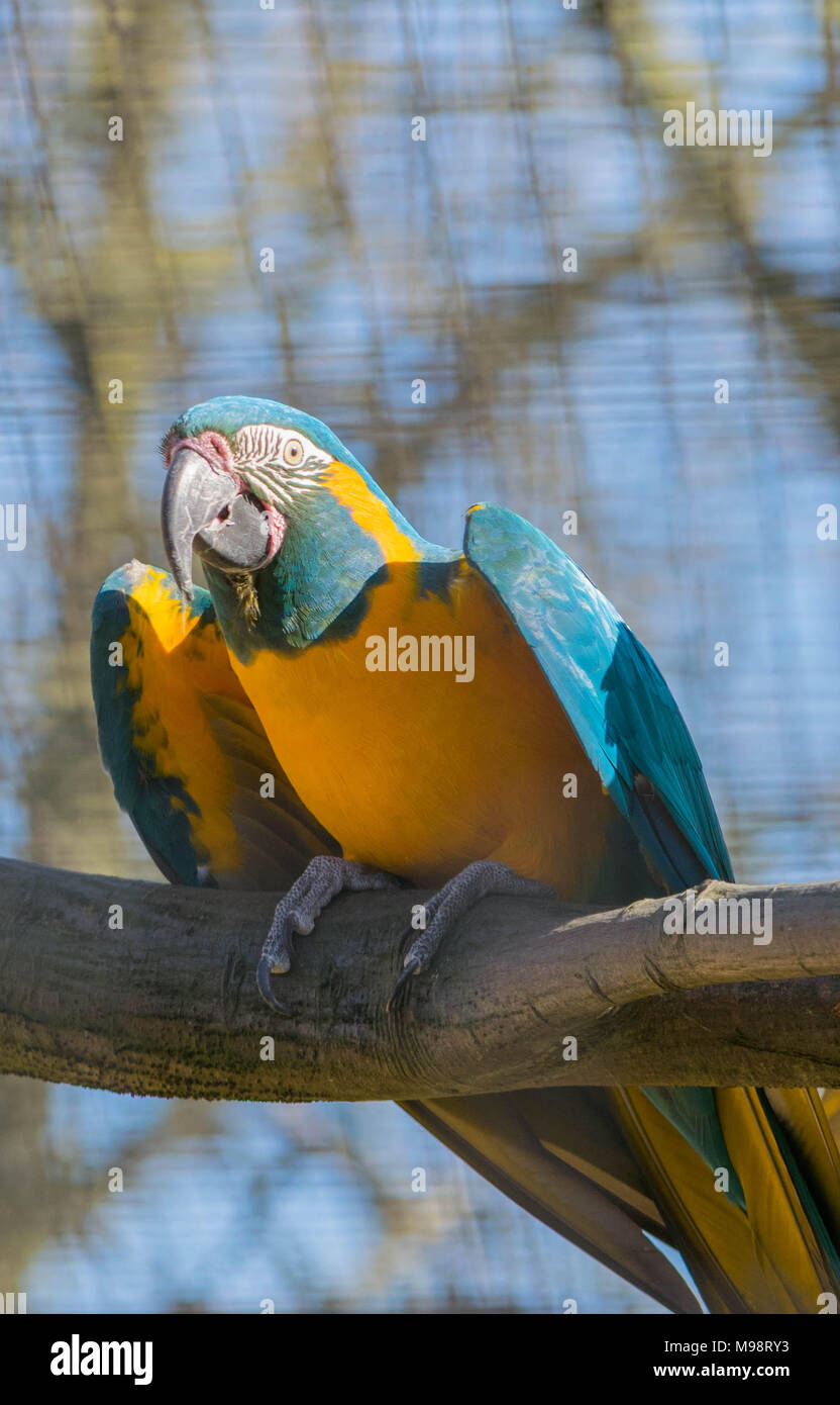 Exotic tropical yellow and blue parrot sitting on branch of tree in park. - Stock Image