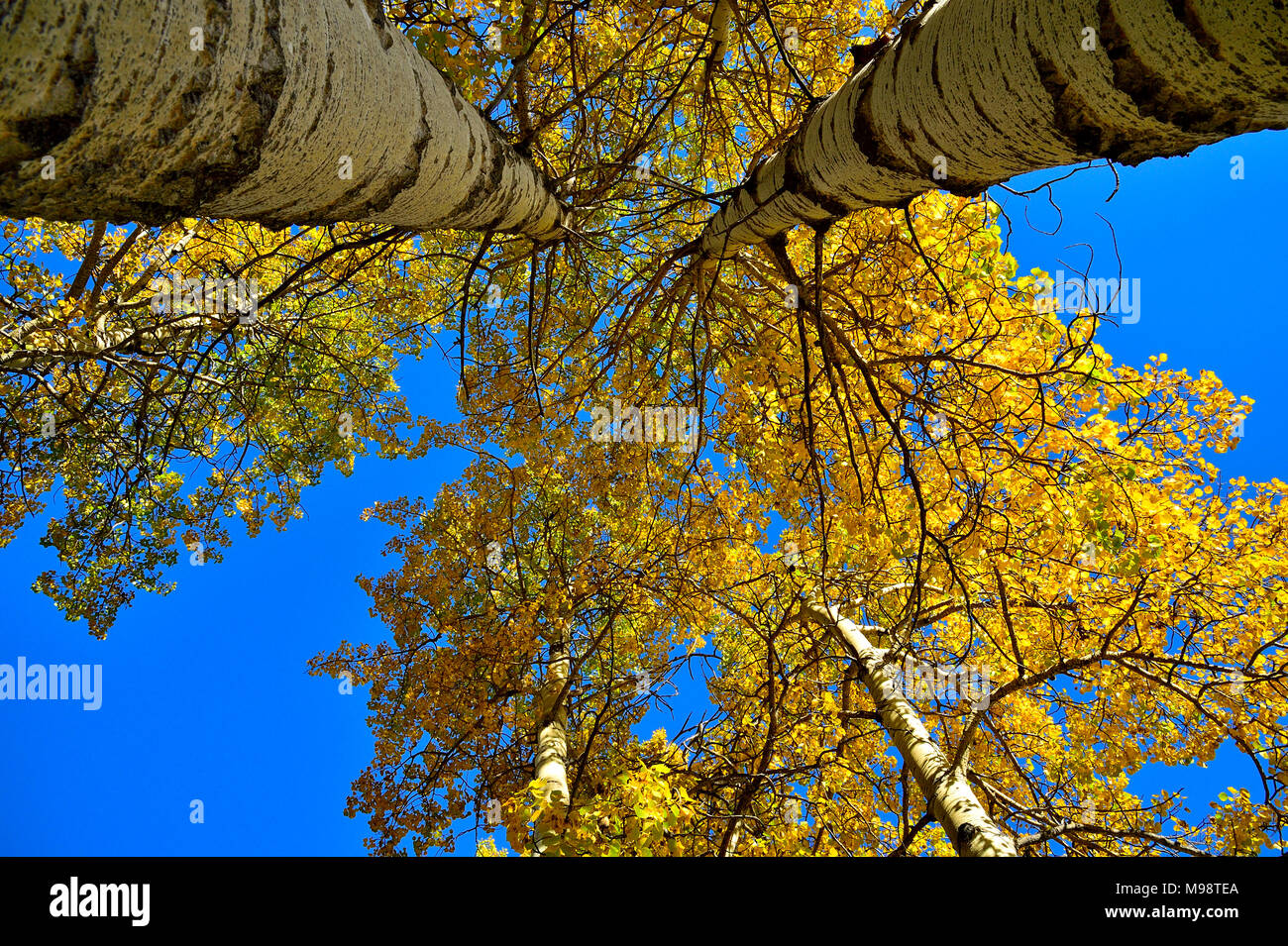 Looking up to the tops of tall aspen trees with bright yellow leaves against a clear blue sky in rural Alberta Canada. - Stock Image