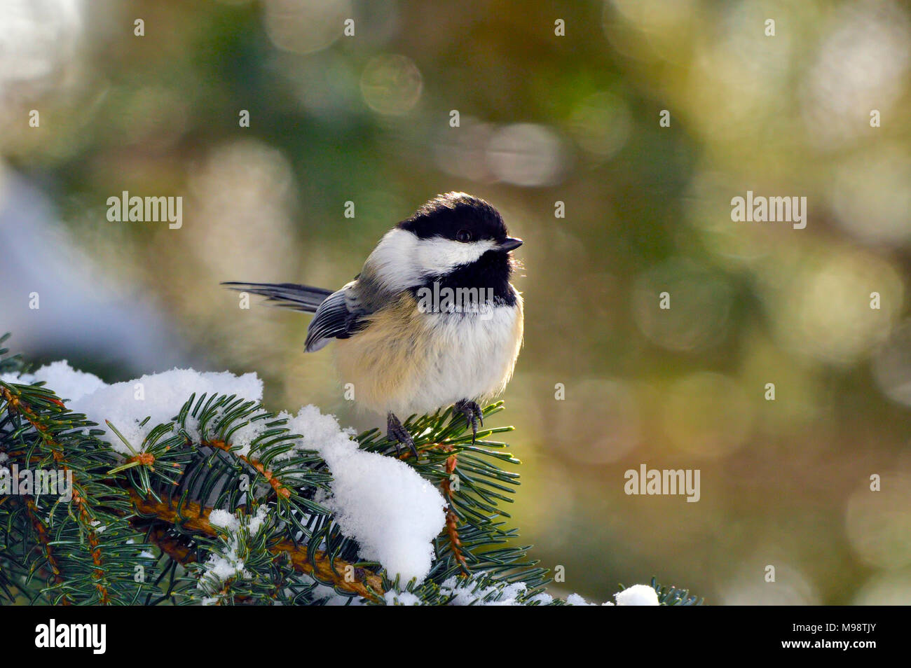 A front view image of a black-capped chickadee bird ( Parus gambeli); perched on a tree branch in rural Alberta Canada. - Stock Image