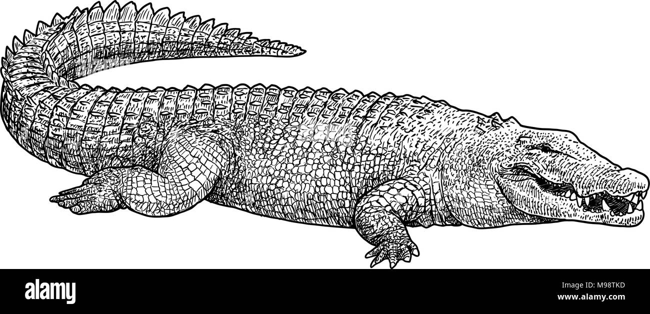 Saltwater crocodile illustration, drawing, engraving, ink, line art, vector - Stock Image