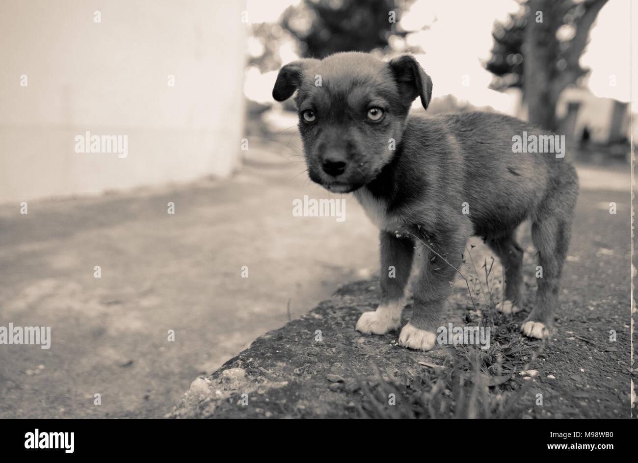 sad stray puppy, animal themes, shalow dof - Stock Image