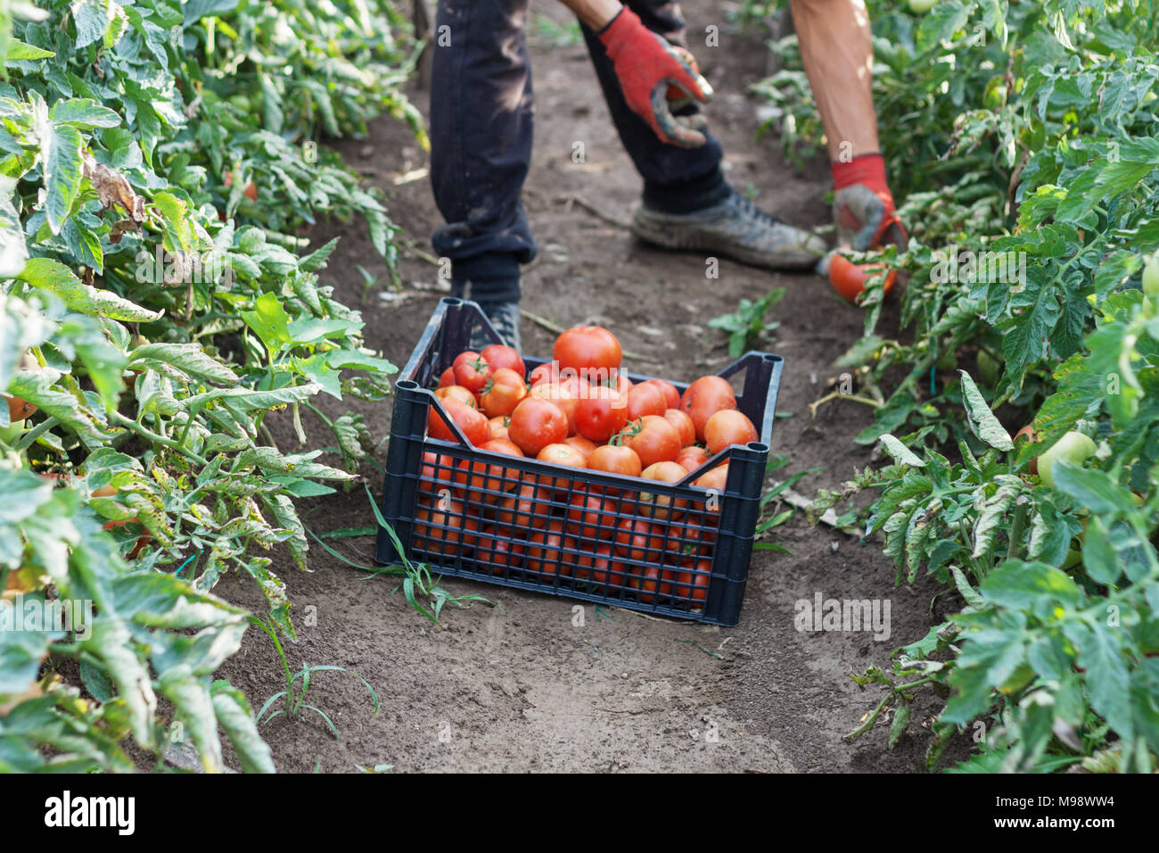 young male farmer picking up fresh tomatoes at plantation - Stock Image