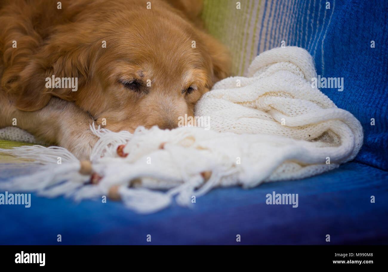 Golden Retriever dog sleeping on the sofa. - Stock Image