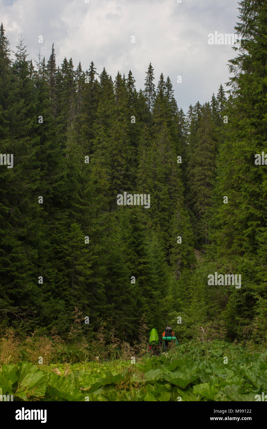 Spruce forest in the Ukrainian Carpathians. Sustainable clear ecosystem - Stock Image