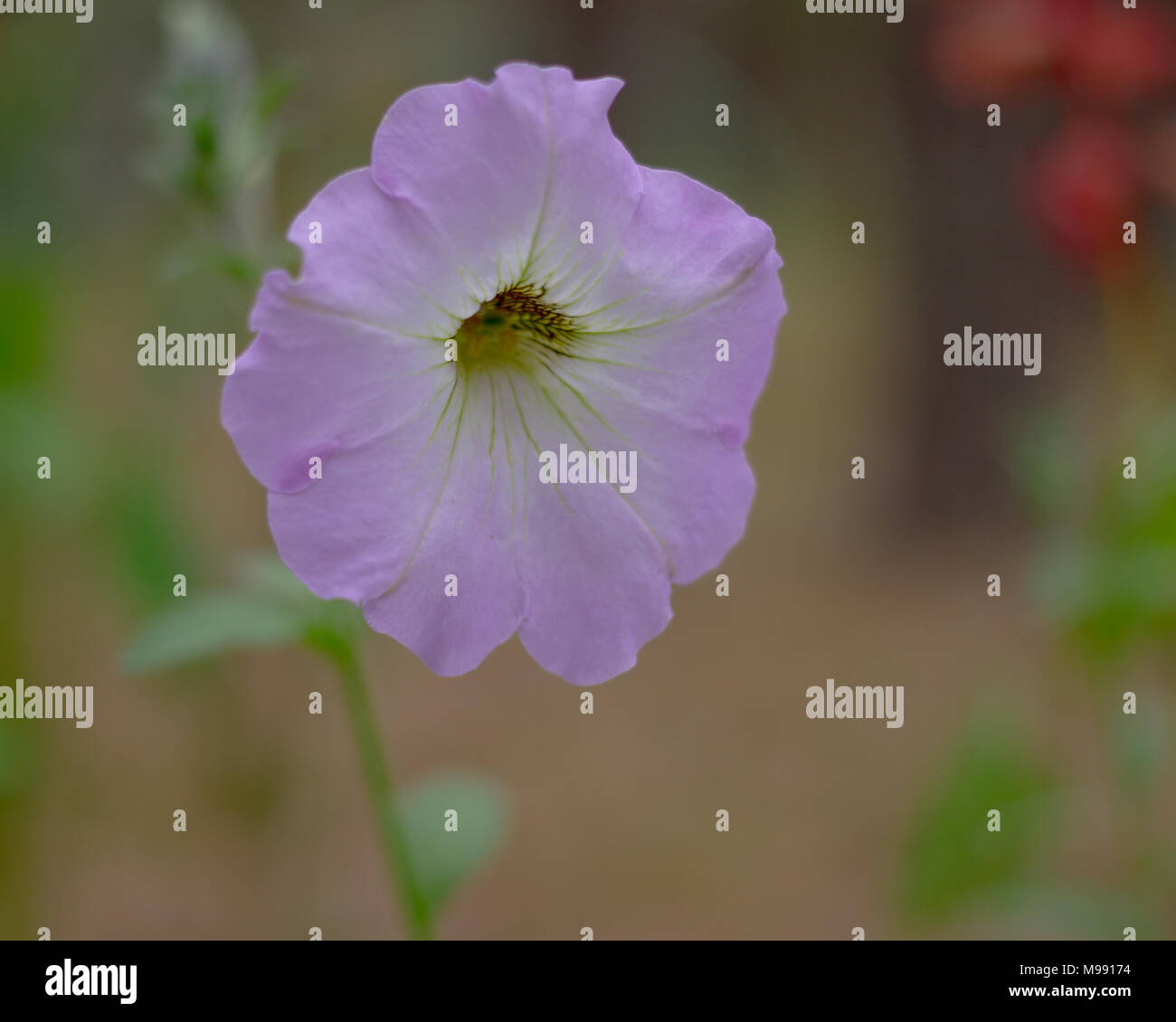 Malva is a genus of herbaceous annual, - Stock Image
