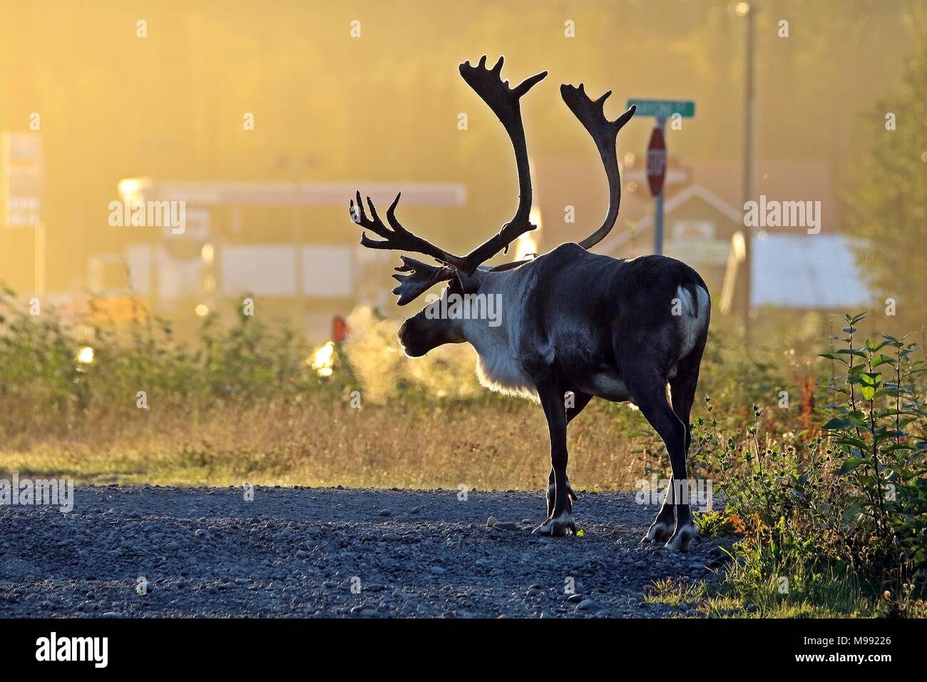 early morning caribou - Stock Image