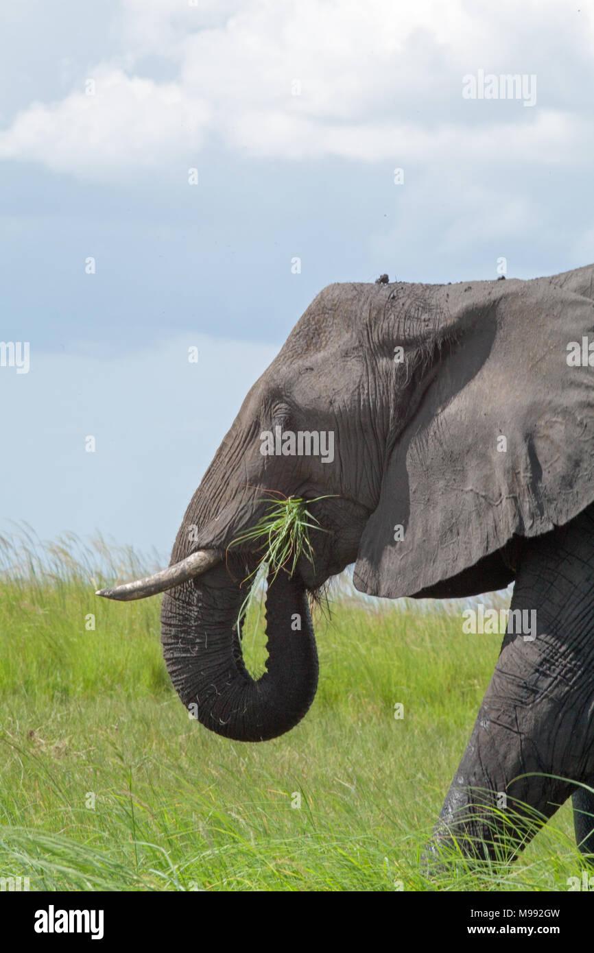 African Elephant (Loxodonta africana). Using trunk to convey gathered grass into mouth. Okavango Delta. Botswana. Africa. - Stock Image