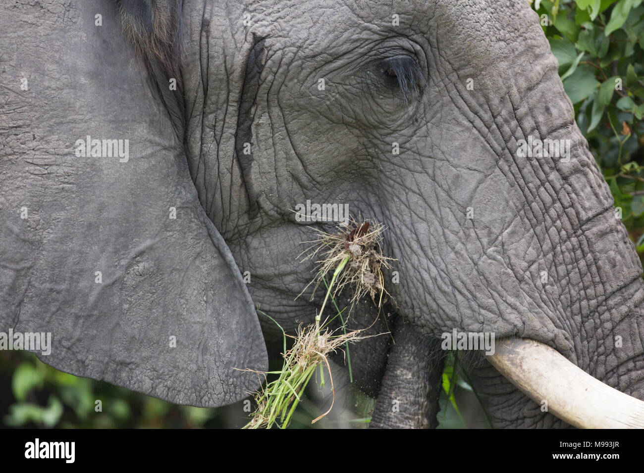 African Elephant (Loxodonta africana). Cow elephant with mouth full of vegetation thrust into the mouth. Temporal gland opening between ear and eye. - Stock Image