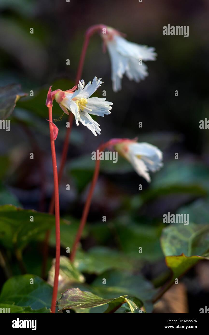 Oconee Bells (Shortia galacifolia) - Holmes Educational State Forest - Hendersonville, North Carolina, USA Stock Photo
