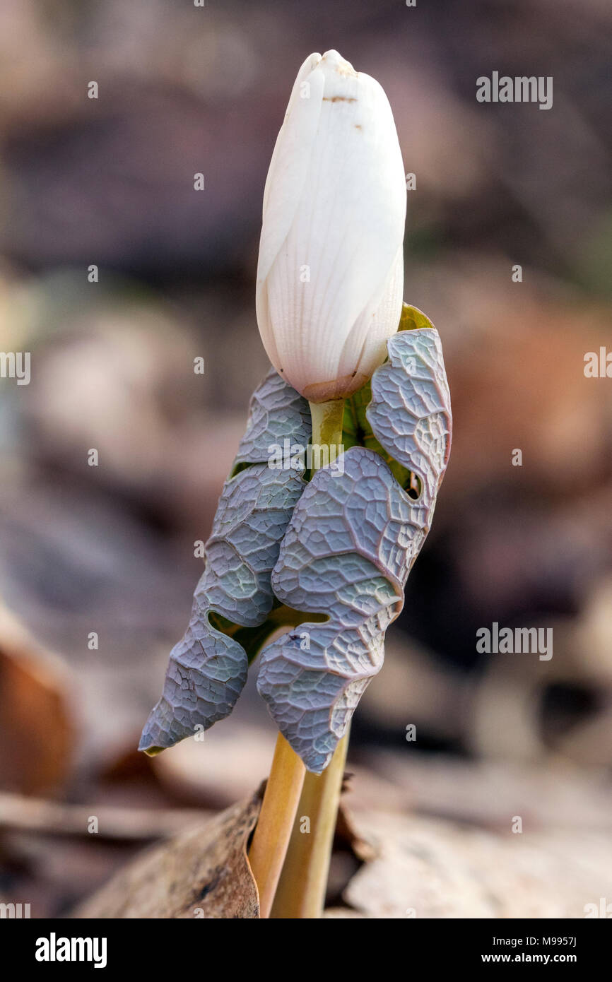 Bloodroot (Sanguinaria canadensis) - Holmes Educational State Forest, Hendersonville, North Carolina, USA Stock Photo