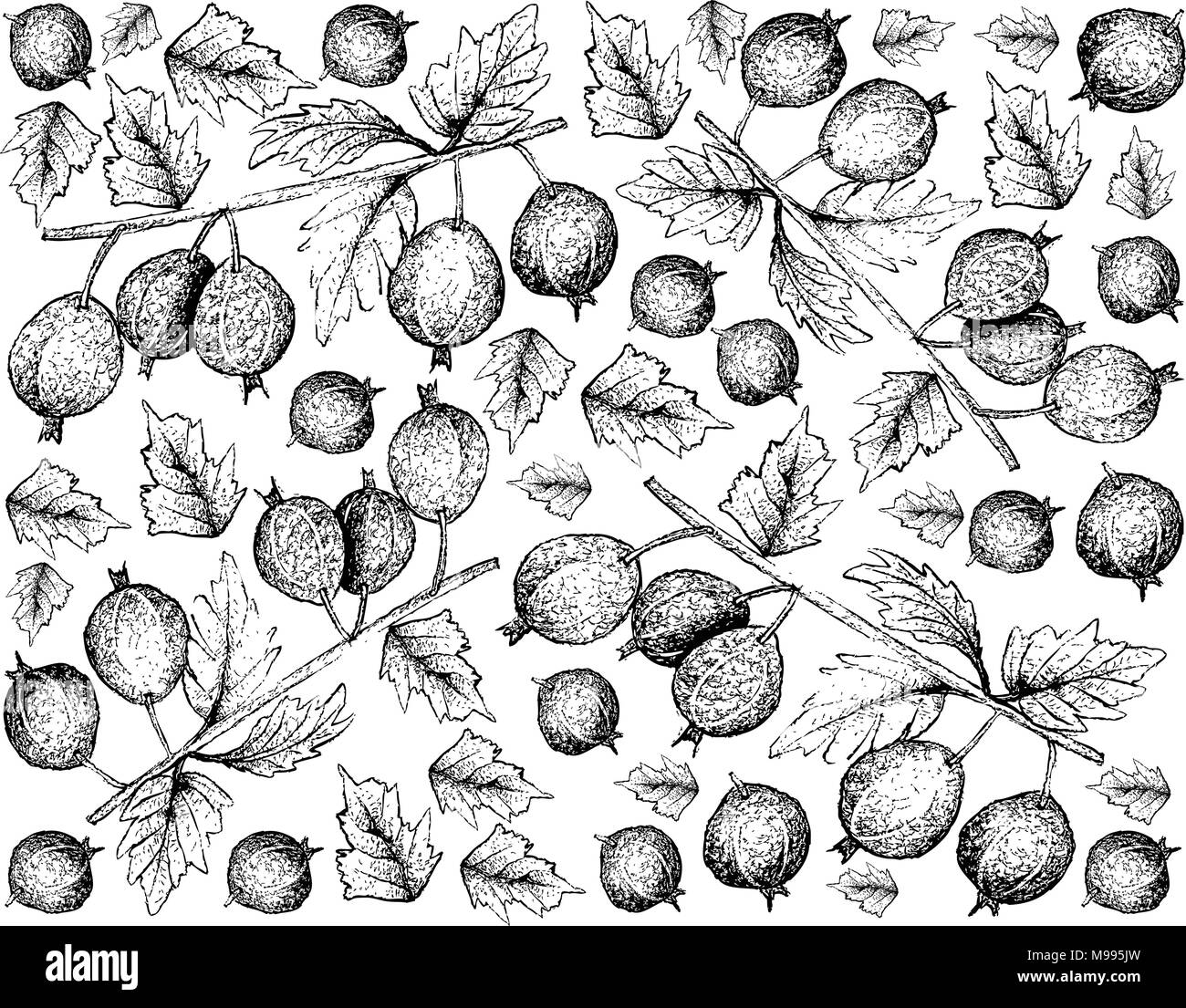 Berry Fruits, Illustration Wallpaper Background of Hand Drawn Sketch Fresh Black Velvet Gooseberry or Ribes Oxyacanthoides Fruit Isolated on White Bac - Stock Vector