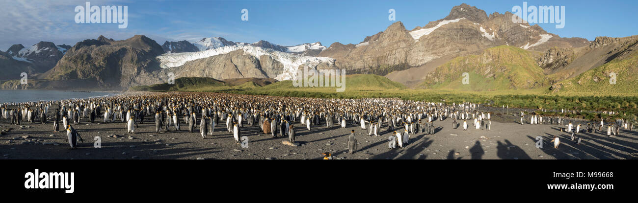 panorama of King Penguin rookery at Gold Harbour, South Georgia - Stock Image