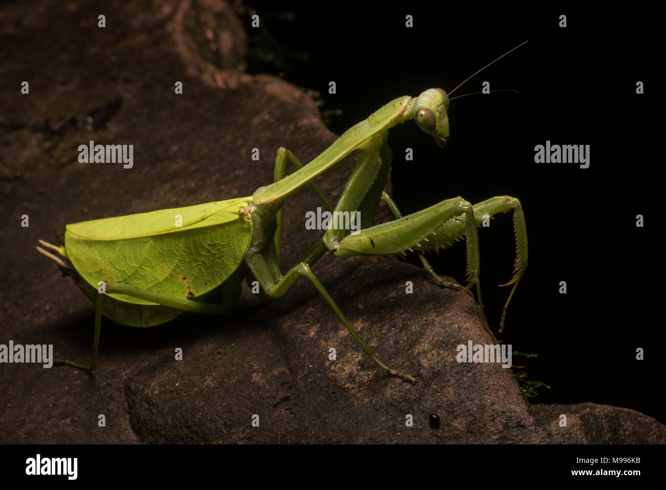 A huge female leaf mantis, a Pseudoxyops species, from Peru.  Normally it is well concealed among the leaves but it has crawled out on a rock. - Stock Image