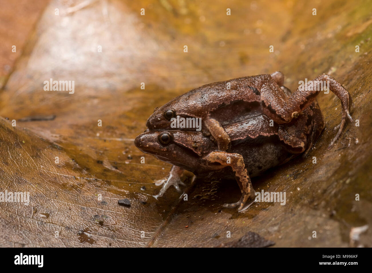 A pair of bolivian bleating frogs (Hamptophryne boliviana) from Peru, these small microhylids can be found breeding after heavy rains. - Stock Image