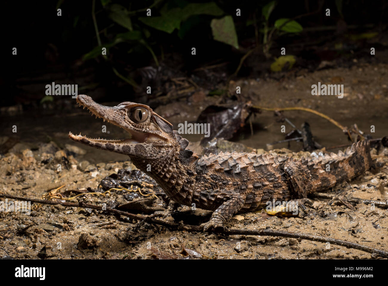 A smooth fronted caiman (Paleosuchus trigonatus), a species from the Amazon, does his best to appear scary and intimidating. - Stock Image