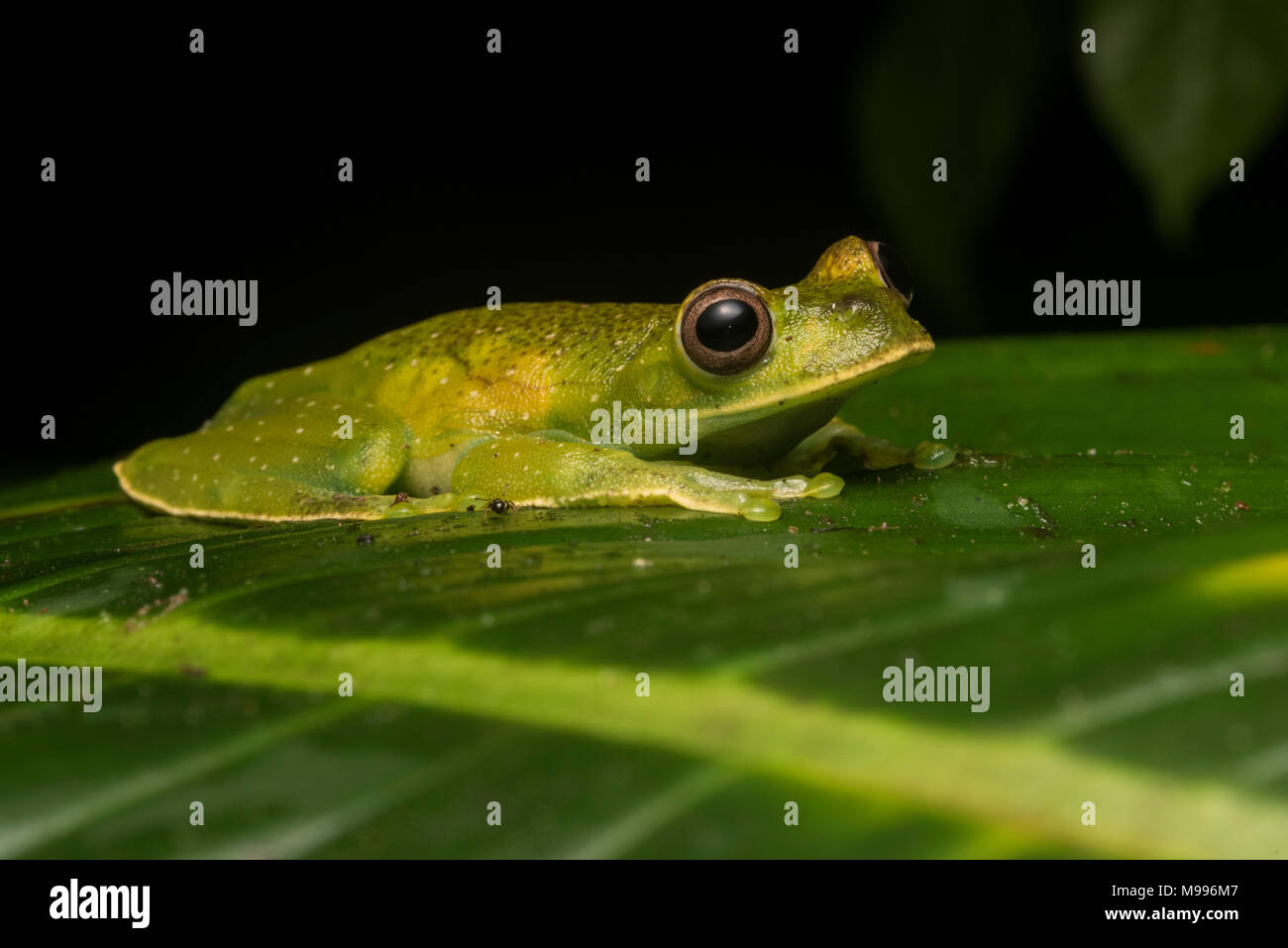 A elusive tree frog, the roque treefrog (Hyloscirtus phyllognathus) from Peru is very difficult to find in its natural habitat as its very secretive. - Stock Image