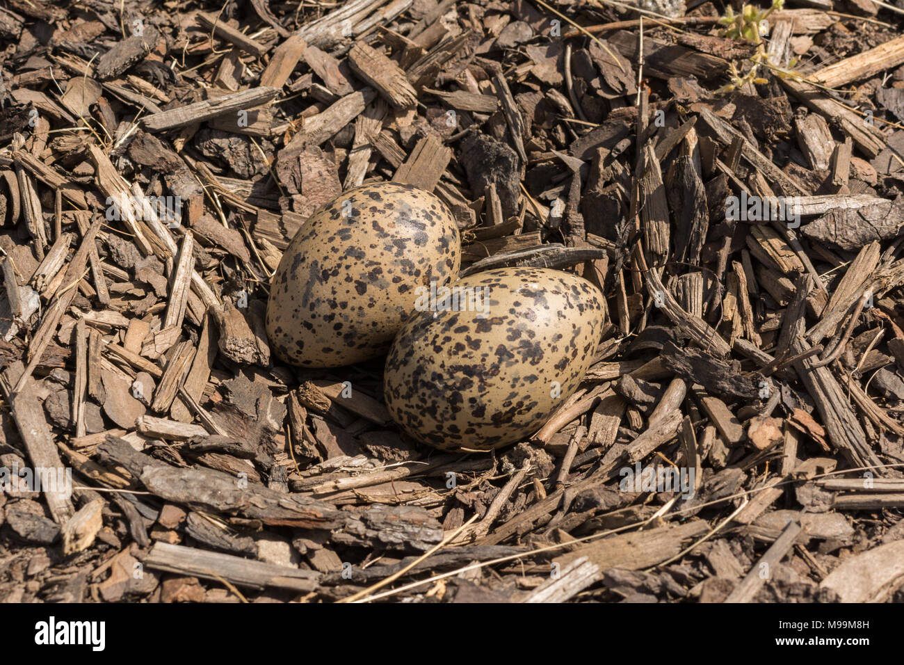 lapwing - vanellus vanellus - eggs in hollowed out nest in bark chippings in Glengoyne Distillery car park, Scotland, UK  see images M99M8J and ET8K2M - Stock Image