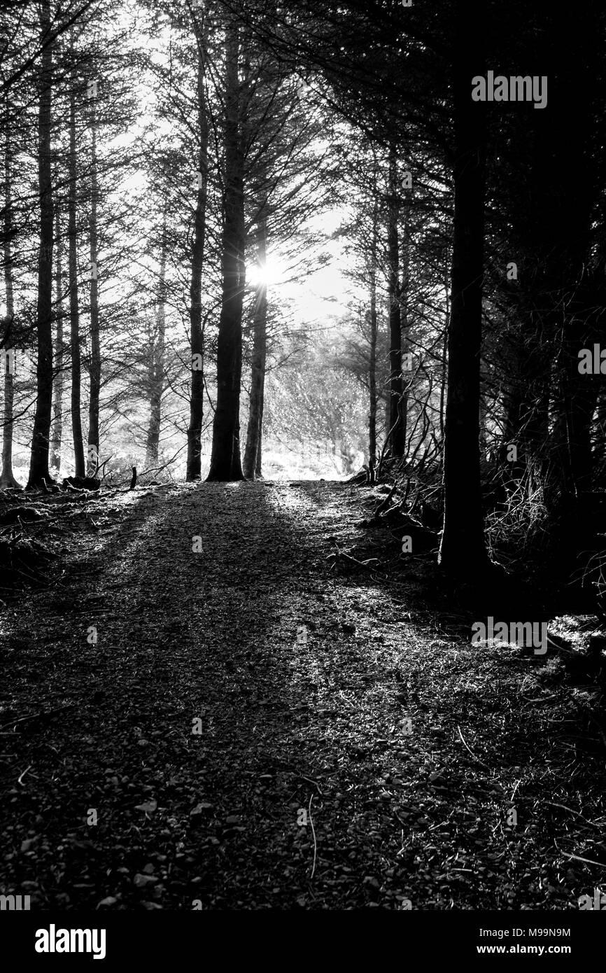 Black White Pine Trees Stock Photos Black White Pine Trees Stock