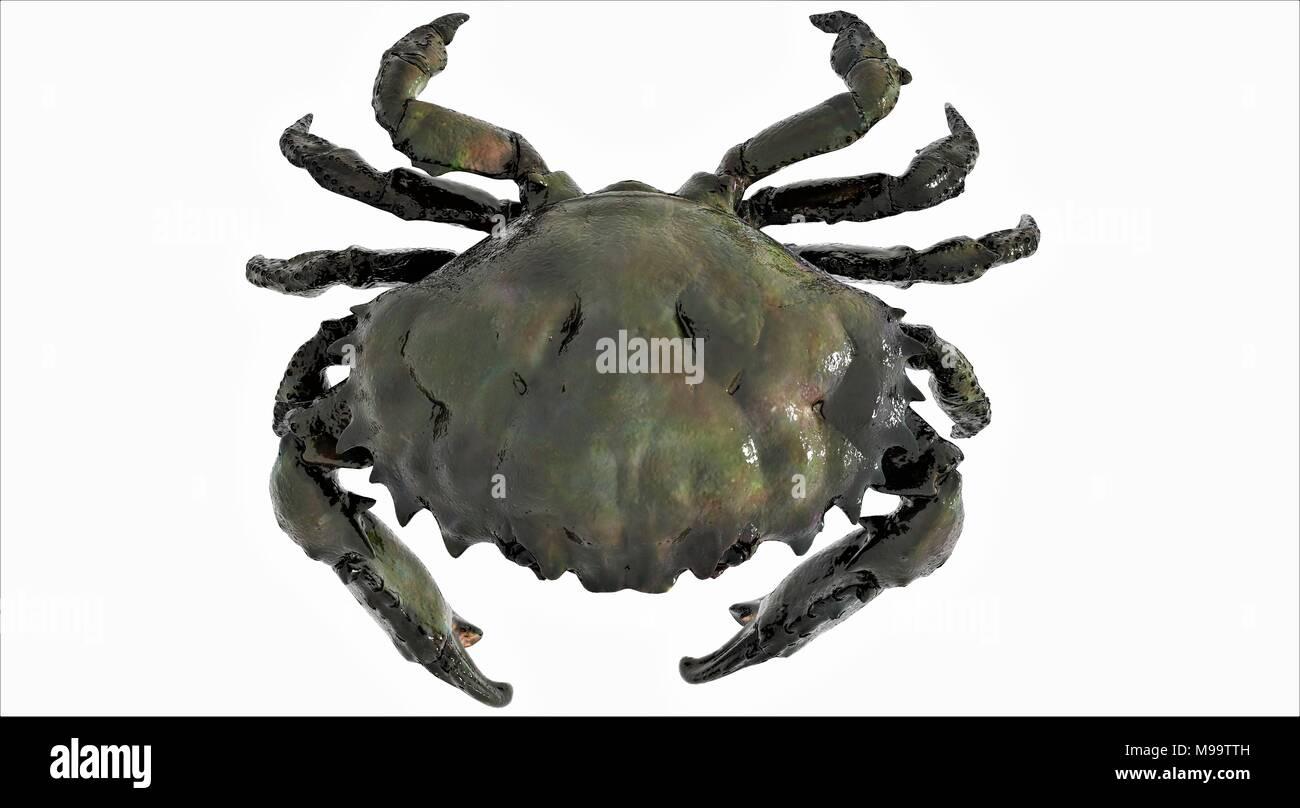 crab black king (top view) Stock Photo