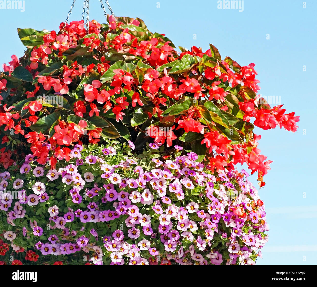 Beautiful hanging basket filled to overflowing with mini red and lavender colored Petunias - Stock Image