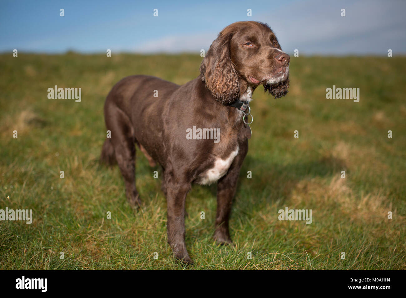 A dog portrait of a pedigree chocolate brown working cocker spaniel standing in a green field with blue sky. Stock Photo