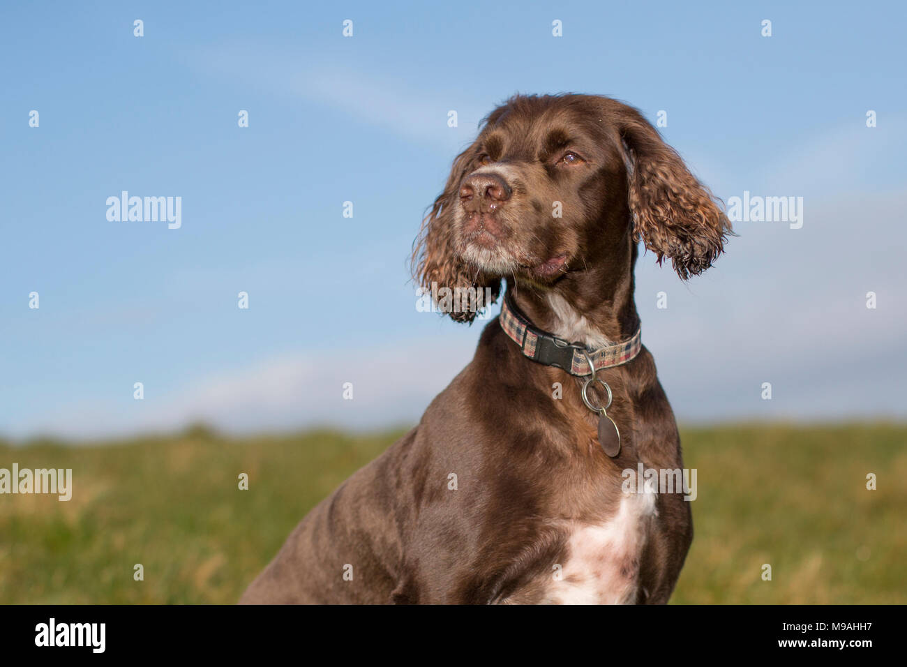 A dog portrait of a pedigree chocolate brown working cockers spaniel head and shoulders outdoor portrait with blue sky background - Stock Image