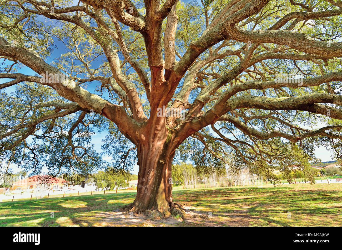 Huge old Cork Oak (Quercus suber L) - Stock Image